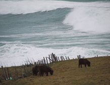 Foals eating oblivious to the sea behind them.
