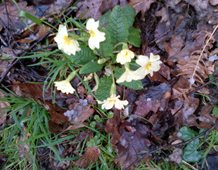 Primroses appearing in Sussex.