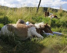 Melina and two Shetland foals blissfully dozing in the meadow.